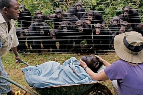 Похороны шимпанзе
