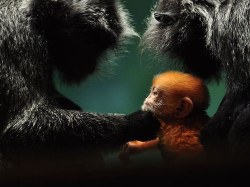 baby-gibbon-ohio_23918_990x742.jpg