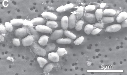 bacteria-wolfesimon1HR.jpg