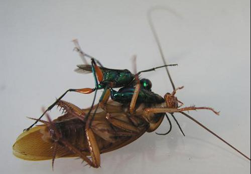 pz-Cockroach.jpg