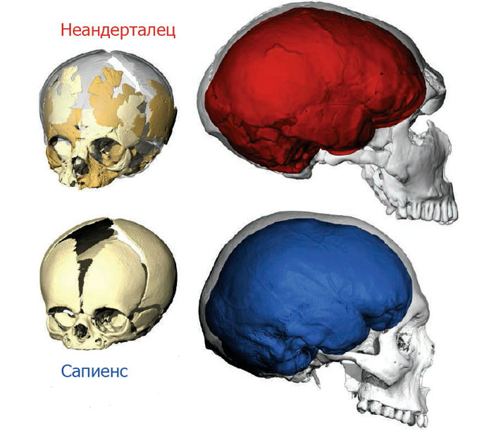 neanderbrain