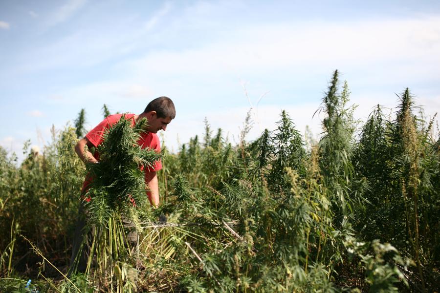 Репортаж сжигают коноплю насвай и марихуана
