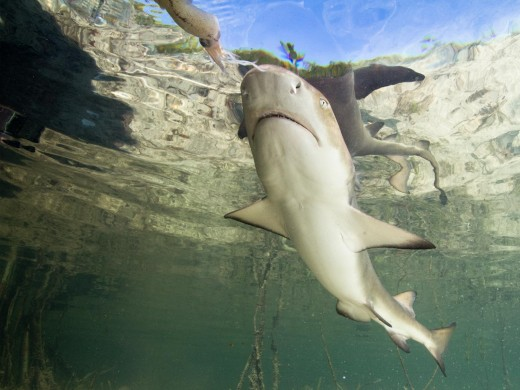 lemon-shark-2